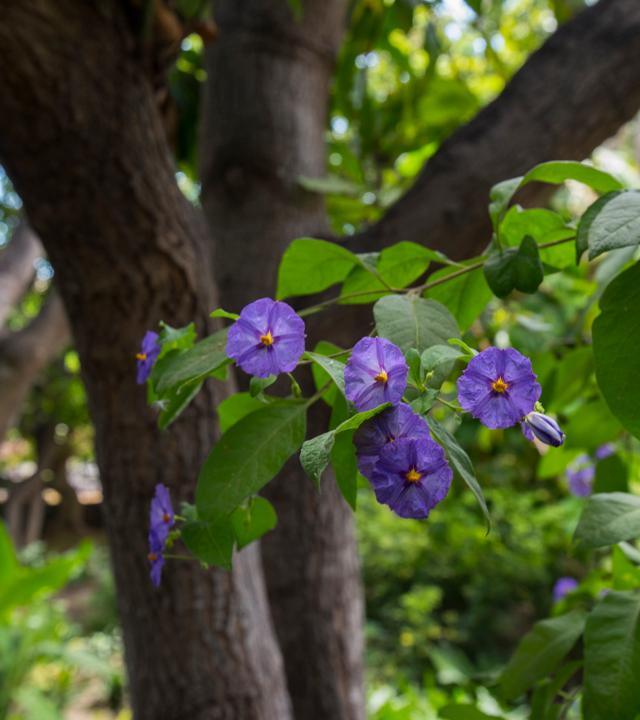 Huerto de las Flores, Agaete