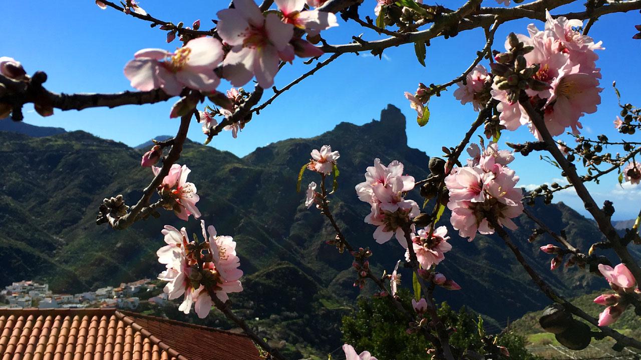 Roque Bentayga entre almendros en flor