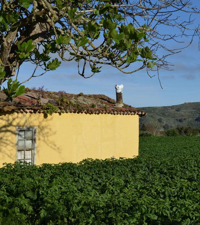 Potato crop in Finca de Osorio
