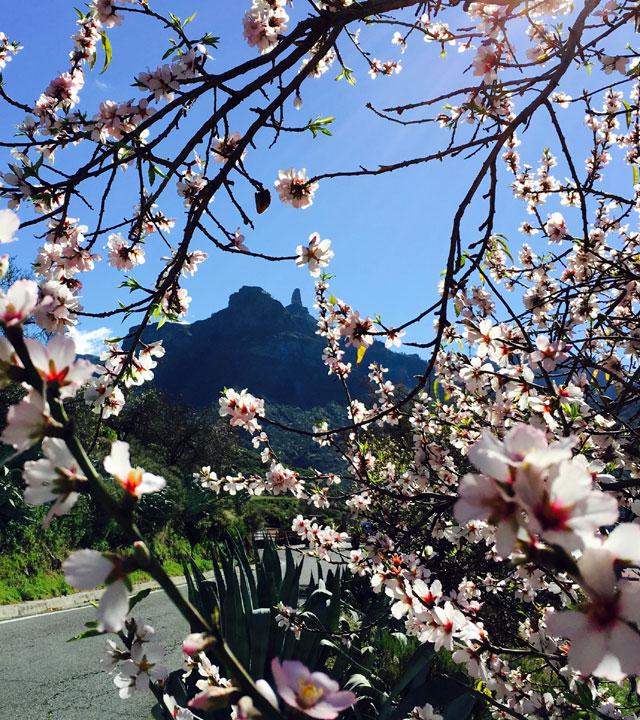 Roque Nublo y almendros en flor en Tejeda