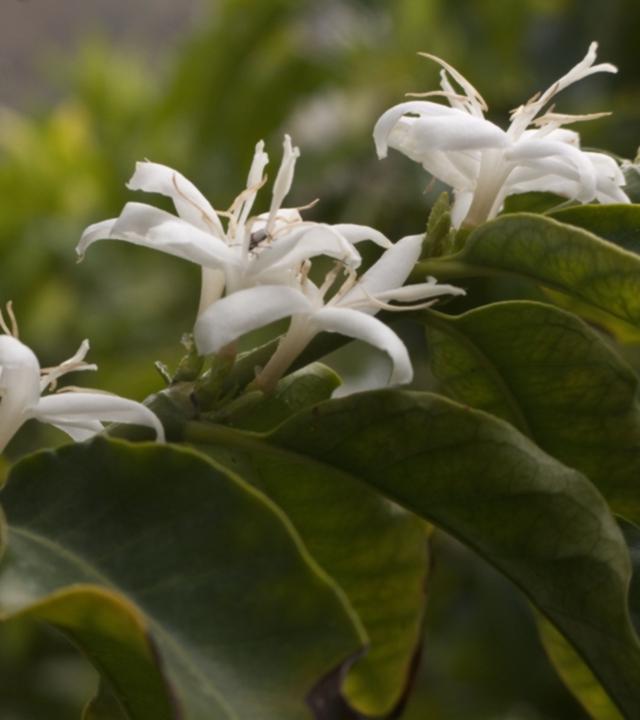 Flor del cafetal