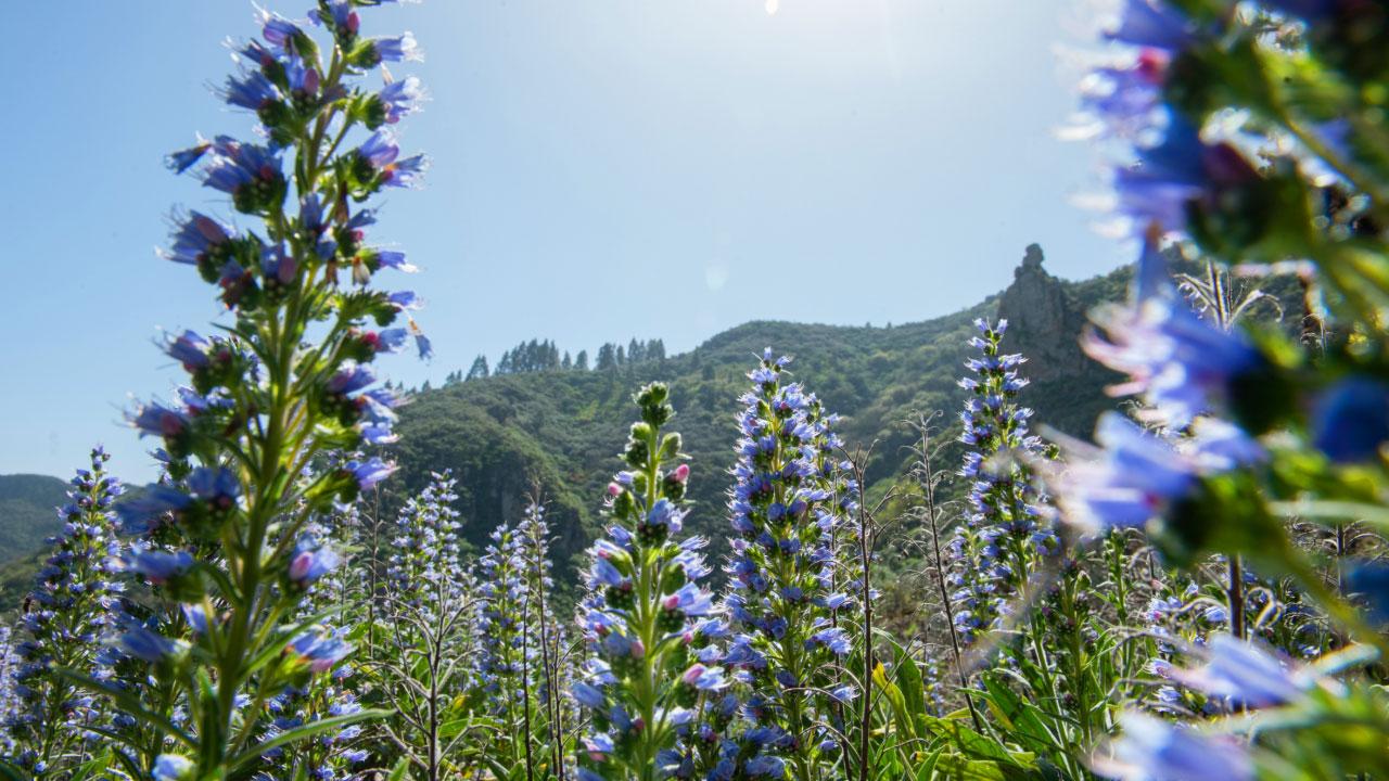 """""""Tajinastes azules"""". Tenteniguada, Valsequillo de Gran Canaria"""