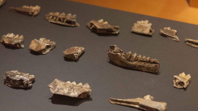 Muestra de la Exposición 'El largo viaje… De Altamira a la Cueva Pintada'
