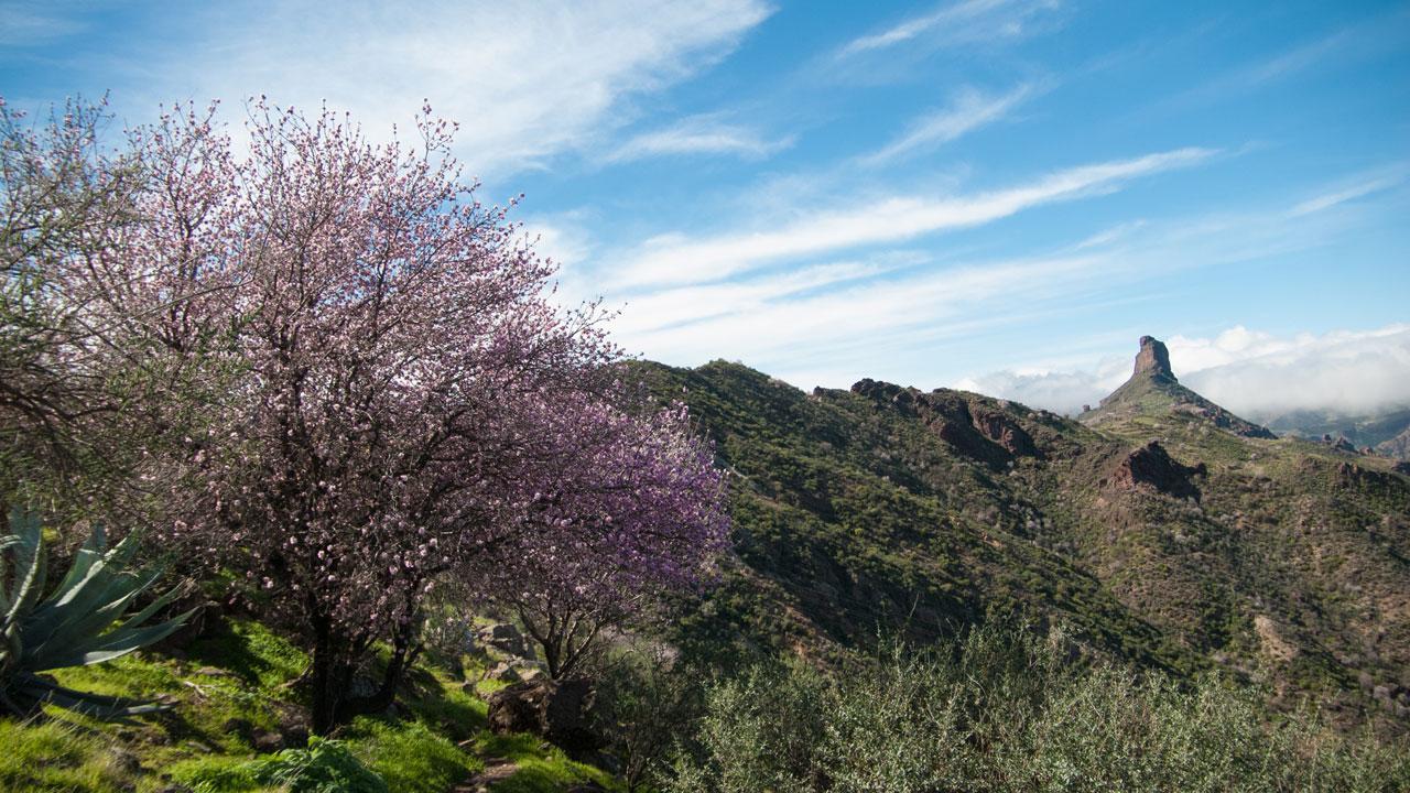 Almendros en flor con el Roque Bentayga al fondo