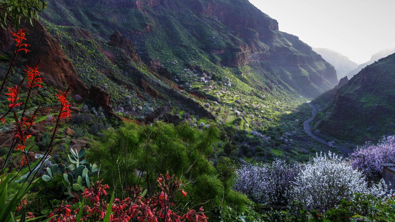 Barranco de Guayadeque con almendros en flor