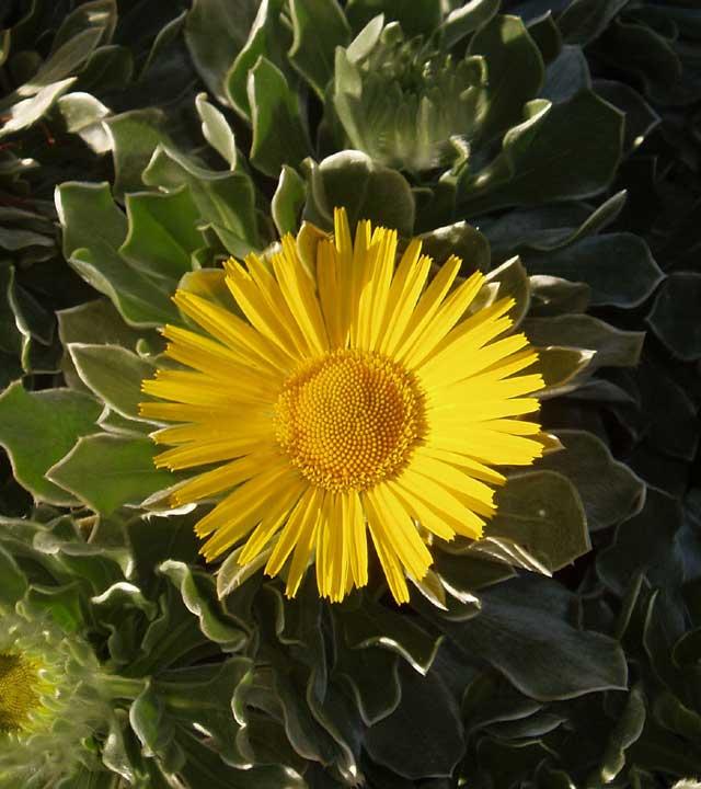 Blume im Botanischen Garten Viera y Clavijo (Jardín Canario), auf Gran Canaria