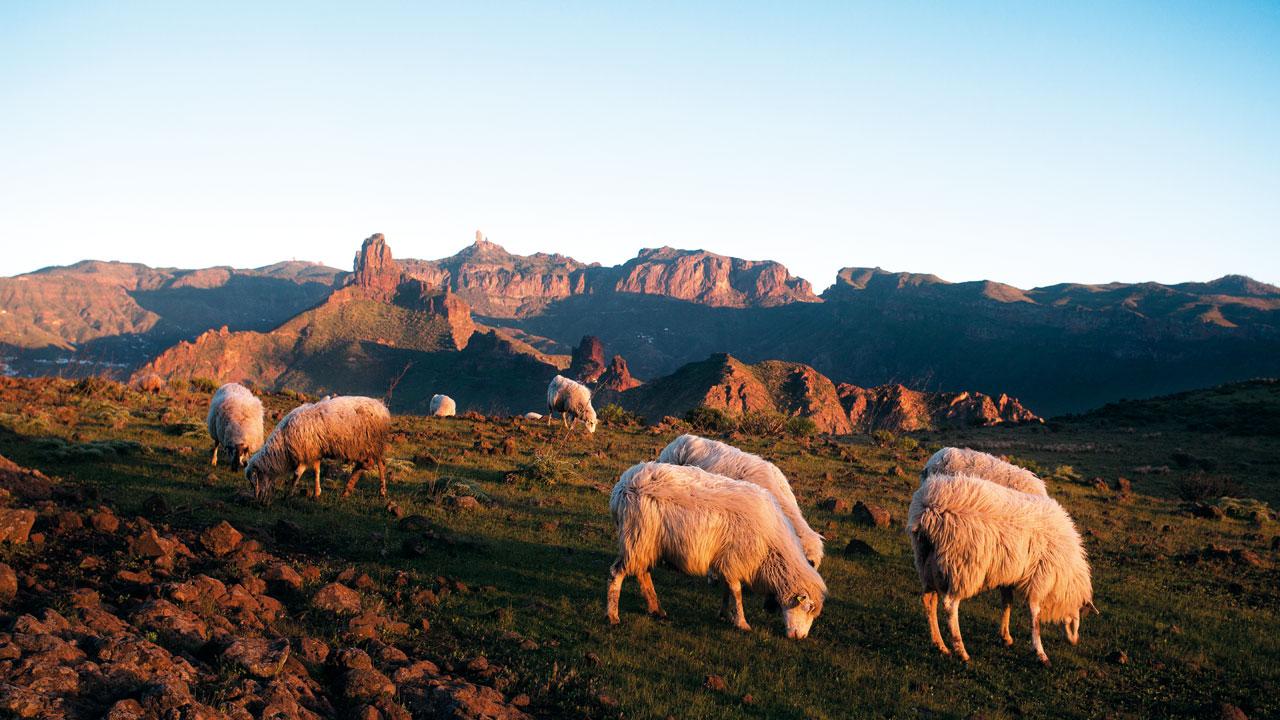Rebaño de ovejas en Artenara. Roque Bentayga y Roque Nublo al fondo
