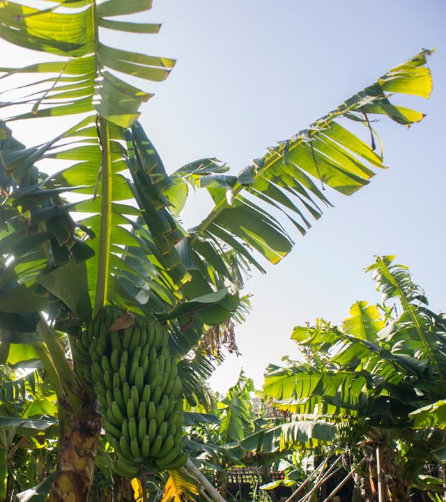 Piña de Plátanos en la Platanera