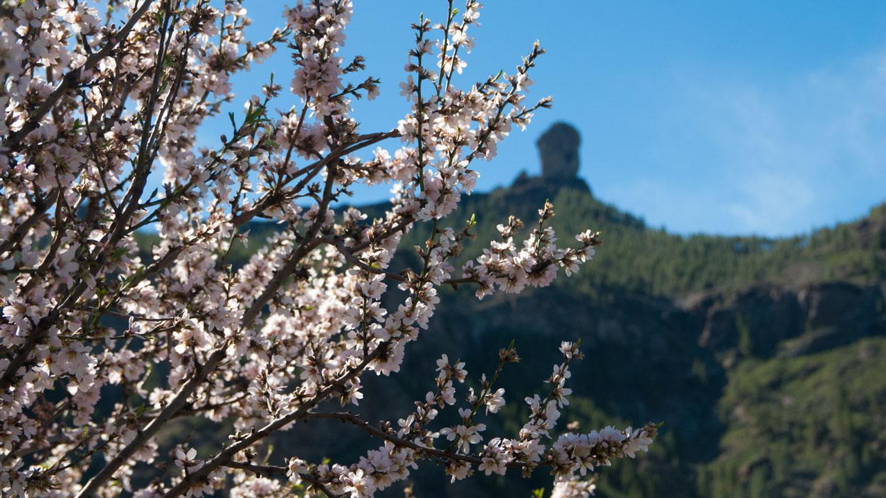 Almendros en flor con Roque Nublo al fondo