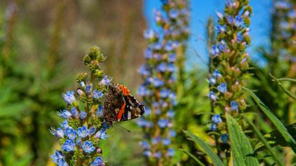 Blaues Tajinaste und Schmetterling, Szenen aus Gran Canaria