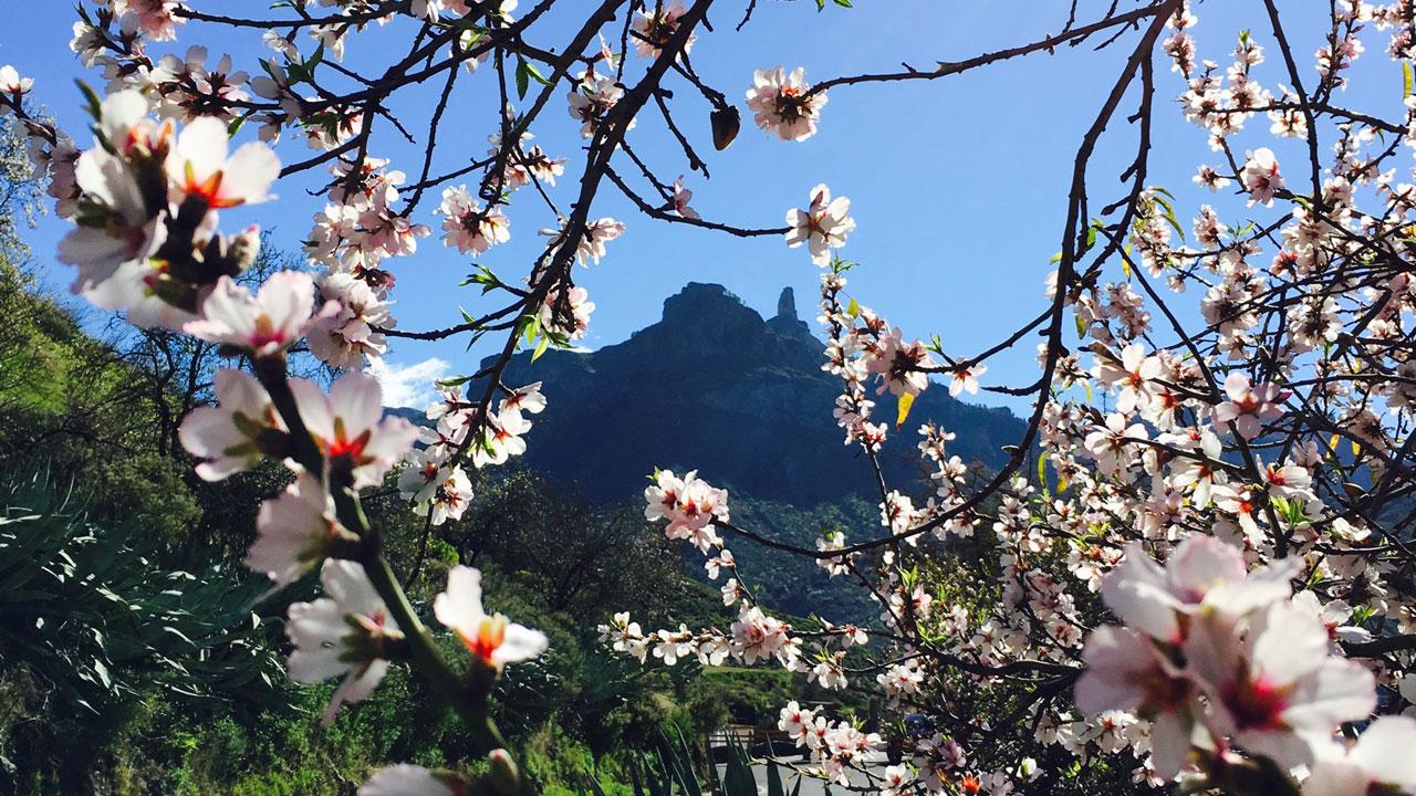 Roque Nublo, entre almendros en flor