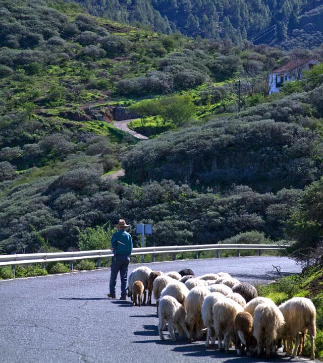Un pastor pastorea en Gran Canaria