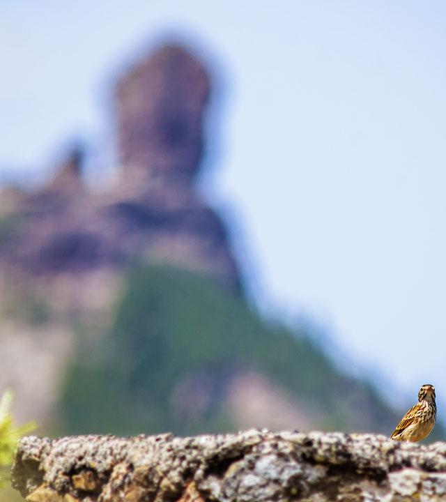 Ein Vogel mit der Silhouette des Roque Nublos Im Hintergrund. Gran Canaria