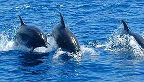 Three dolphins sailing