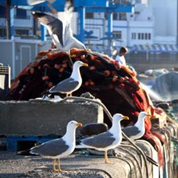 [] Gaviotas en el puerto de Las Nieves