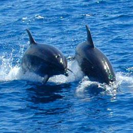 Delfine auf offener See in der Gegend von Puerto Rico