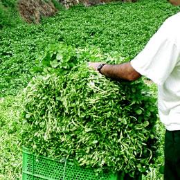 Agricoltori raccolgono il crescione a Firgas