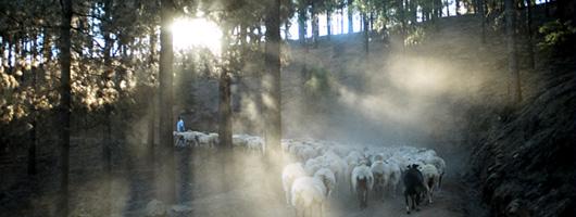 Transhumance de bétail à Caideros de Gáldar