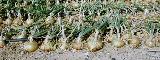 Plantations d'oignons à Gáldar