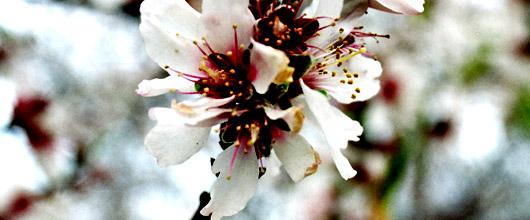 Blomma från ett mandelträd i Tejeda